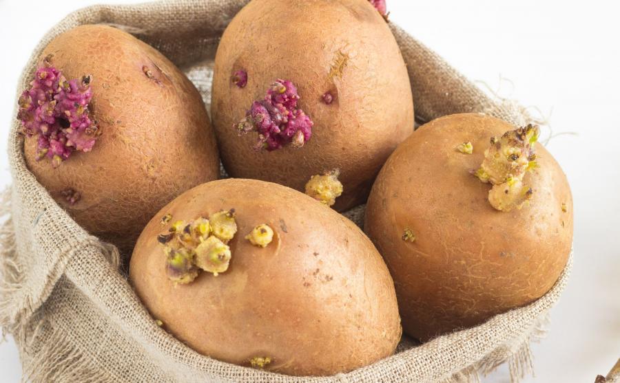 Ziemniaki, które puszczają pędy