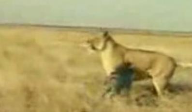 Jak dzielna świnka pogoniła lwa