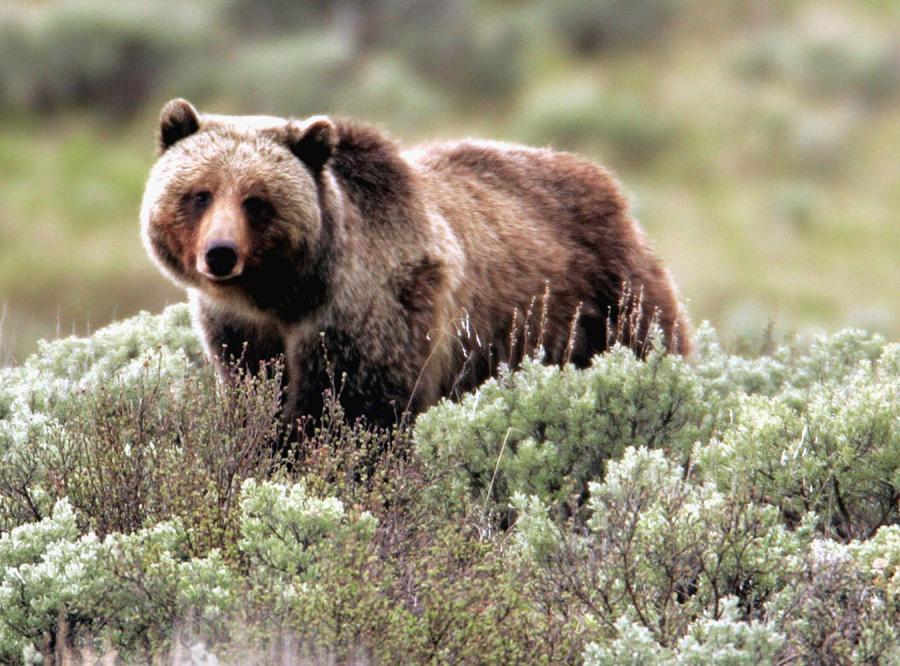 Rozszalały niedźwiedź zaatakował śpiących turystów