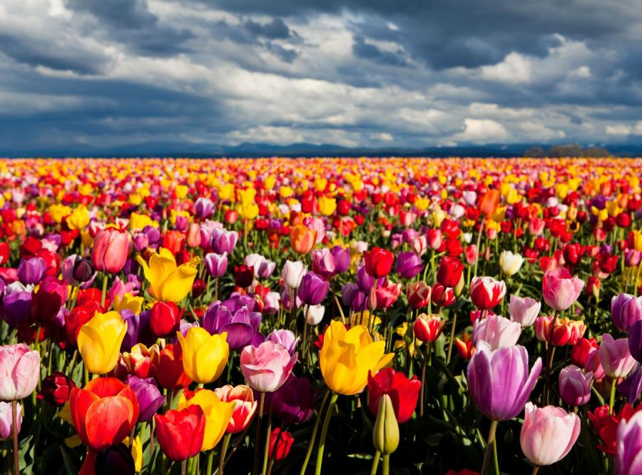 Oto, jak będzie wyglądał prezydencki tulipan