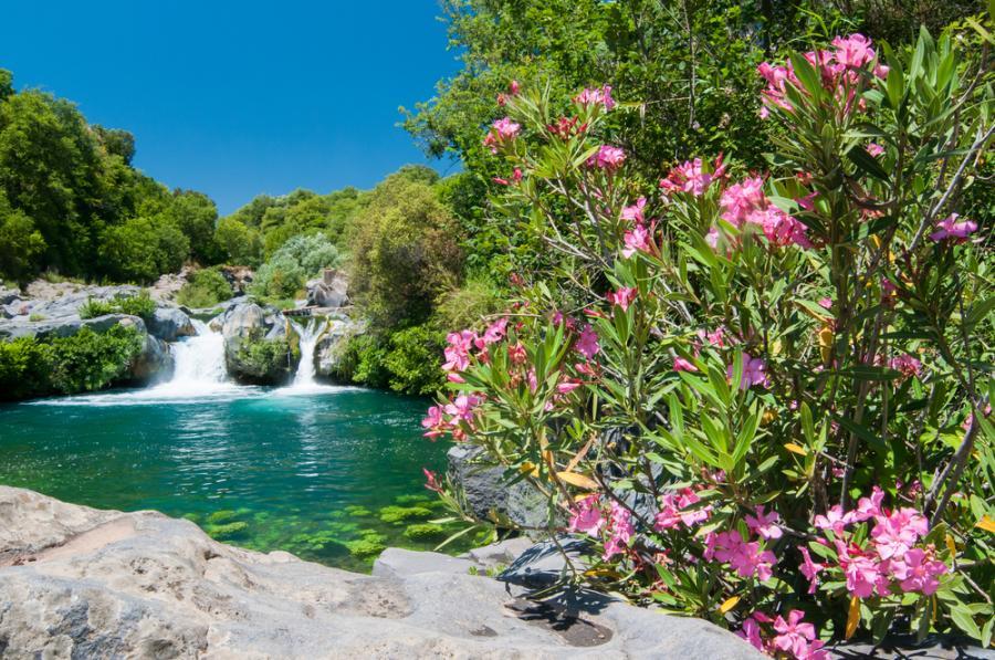 Kwiaty oleandru wiosną na Sycylii